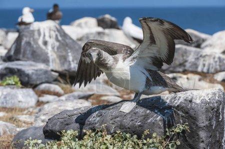 Photo pour Nazca Booby (Sula granti) juvénile exerçant ses ailes, Île Espaola, Galapagos, Équateur, Amérique du Sud - image libre de droit