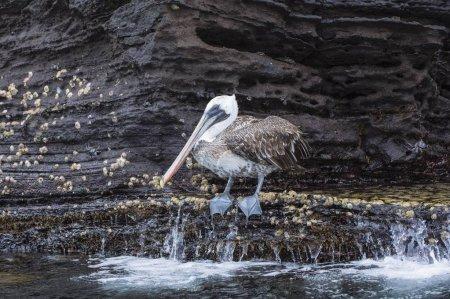 Photo pour Galapagos Pélican brun (Pelecanus occidentalis urinator), Tagus Cove, Isabela Island, Galapagos, Équateur, Amérique du Sud - image libre de droit