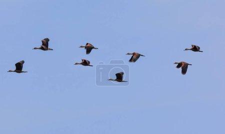 Photo pour Petits canards siffleurs, réserve naturelle près de Godahena, région de Galle, Province du Sud, Sri Lanka, Asie - image libre de droit