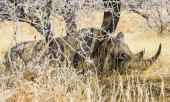 "Постер, картина, фотообои ""Black Rhinoceros sleeping camouflaged in the bushes, Etosha National Park, Namibia, Africa"""