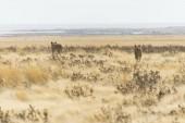"Постер, картина, фотообои ""Lionesses with cubs walking through steppe, Etosha National Park, Namibia, Africa"""
