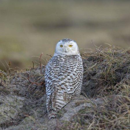 Photo pour Chouette des neiges, femelle en zone hivernale se reposant dans l'herbe de Marram, Vlieland, Îles Frisonnes occidentales - image libre de droit