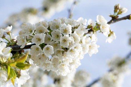 Photo pour Fleur de cerisier (Prunus avium), Markgrflerland, Forêt Noire, Bade-Wrttemberg, Allemagne, Europe - image libre de droit