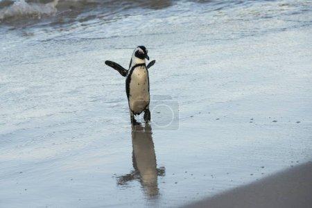 Photo pour African Penguin, Boulders Beach, Simon's Town, Western Cape, Afrique du Sud, Afrique - image libre de droit