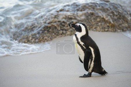 Photo pour African Penguin on the sandy beach, Boulders Beach, Simon's Town, Western Cape, Afrique du Sud, Afrique - image libre de droit