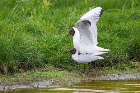 Photo pour Goélands à tête noire oiseaux, accouplement - image libre de droit