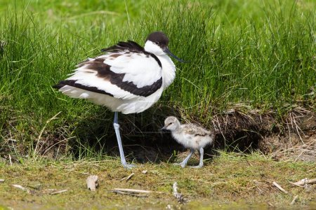 Photo pour Pied Avocet (Recurvirostra avosetta) avec poussin, Texel, province de Hollande-Septentrionale, Pays-Bas, Europe - image libre de droit