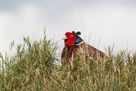 Photo pour Faisan commun (Phasianus colchicus), mâle, Texel, Hollande-Septentrionale, Pays-Bas, Europe - image libre de droit