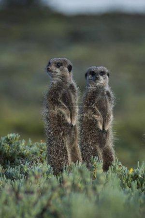 Meerkats looking away in wild nature...