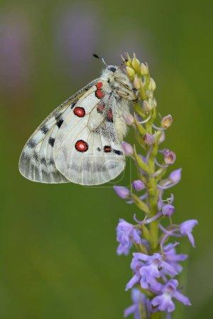Аполло Бабелло летает покрытый росой, созревающий на подстегиваемой Шортом Орхидее