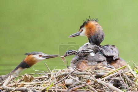 Photo pour Great Crested Grebe, nourrir un poussin au nid, Hesse du Nord, Hesse, Allemagne, Europe - image libre de droit