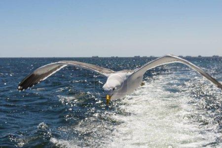 Photo pour Kelp Gull en vol, à Walvis Bay, eau - image libre de droit