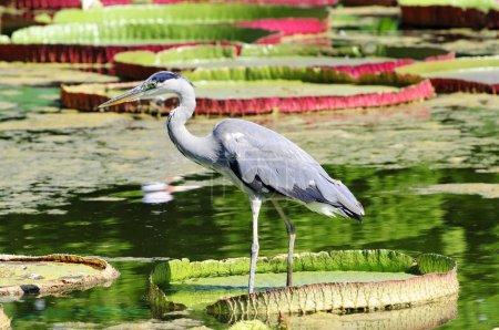 Photo pour Héron gris (Ardea cinerea) dans un étang de lis, Allemagne, Europe - image libre de droit