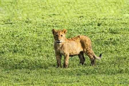Photo pour Lion (Panthera leo), ourson, cratère de Ngorongoro, Tanzanie, Afrique - image libre de droit