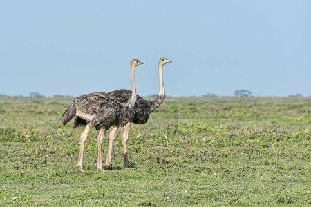 Photo pour Autruches, Struthio camelus, Serengeti, Tanzanie, Afrique - image libre de droit