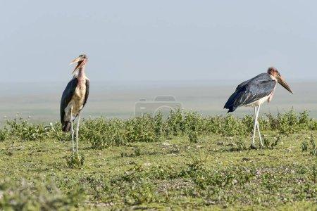 Photo pour Cigognes de Marabou oiseaux Serengeti, Tanzanie, Afrique - image libre de droit