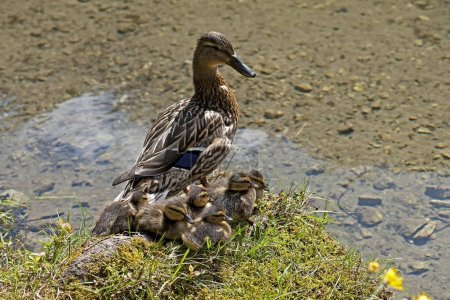 Photo pour Canard aux canetons à Grner See ou Green Lake, Trag, Styrie, Autriche, Europe - image libre de droit