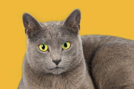 Russian Blue, purebred cat