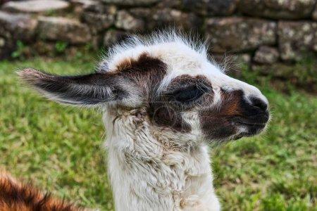 Foto de Joven Llama (Lama glama), retrato animal, en la arruinada ciudad de Machu Picchu, Perú, América del Sur - Imagen libre de derechos