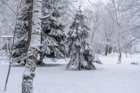 Photo for Beautifull wide pine and birch tree forest covered in snow - Royalty Free Image