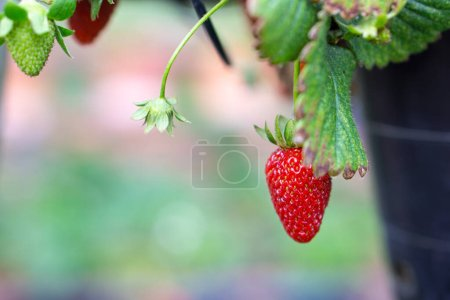The garden strawberry is a widely grown hybrid species of the genus Fragaria, collectively known as the strawberries, which are cultivated worldwide for their fruit. The fruit is widely appreciated for its characteristic aroma, bright red color, juic
