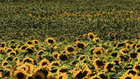 Photo pour Gros plan d'un champ de tournesol-Helianthus annuus en pleine saison de croissance sous le ciel bleu clair et le soleil brillant de midi d'une journée d'août dans le nord du plateau castillan. Bureba region-Burgos-Espagne. - image libre de droit