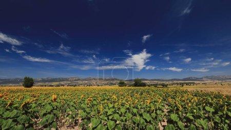 Photo pour Gros plan d'un champ de tournesol-Helianthus annuus en pleine saison de croissance dans le fond sous le soleil de midi d'une journée d'août dans le nord du plateau castillan. Bureba region-Burgos-Espagne. - image libre de droit