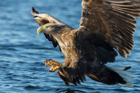 Close-up of White-tailed sea Eagle (Haliaeetus albicilla) in flight with the powerful claws catching a fish, Norway.