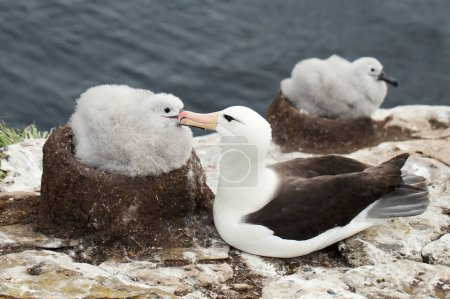 Black-browed Albatross sitting close to the chick  on a breeding ground in Falkland islands.
