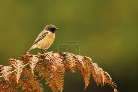 European stonechat perching on a fern branch against colorful background in natural surrounding, UK. Birds in parks and meadows.