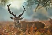 """Постер, картина, фотообои """"Крупным планом олень оленя с пострадавшего уха во время гона сезона, Великобритания."""""""