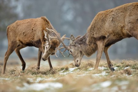 Close up of Red deer fighting during the rutting season in UK.