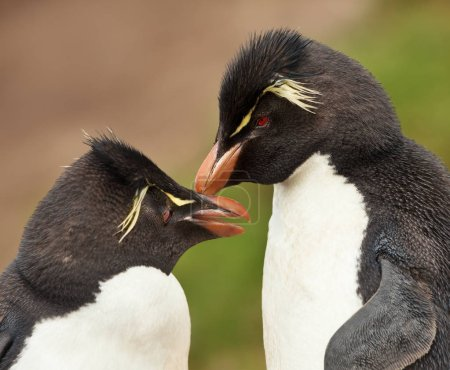 Close up of Rockhopper penguins preening each othe...