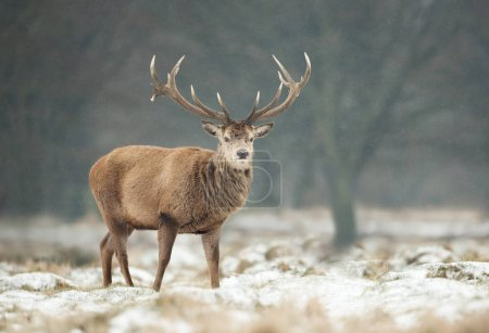 Close up of a Red deer stag during snow in winter, UK.