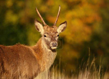 Photo pour Gros plan d'un jeune cerf rouge en automne, Royaume-Uni . - image libre de droit