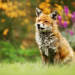 Close up of a Red fox (Vulpes vulpes) in the garde...