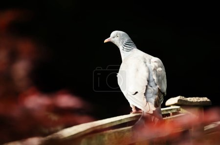 Common wood pigeon sitting on a wooden fence