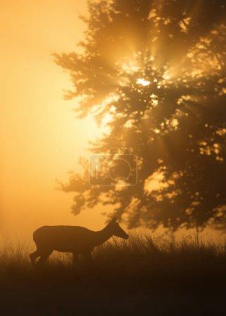Foto de Silueta de un ciervo rojo (Cervus elaphus) detrás al amanecer, Reino Unido . - Imagen libre de derechos