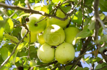 Photo for Ripe apples  on the branches of a tree in the garden. - Royalty Free Image