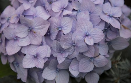 Foto de Plantilla floral con pétalos de hortensias como fondo - Imagen libre de derechos