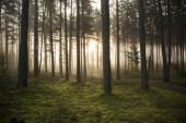 "Постер, картина, фотообои ""Туманный тайна леса как фон"""