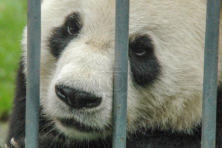 Photo pour Dans la réserve Wolong, un panda est triste derrière les barreaux de son enclos - image libre de droit