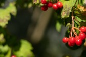 Berries of the guelder-rose on a dark green background