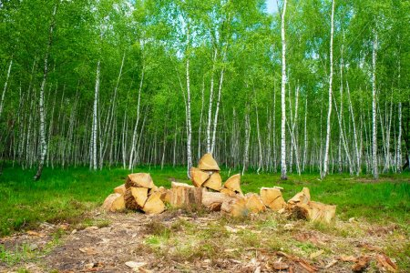 Photo pour Chopped oak on a birch forest clearing in spring in Ukraine. - image libre de droit