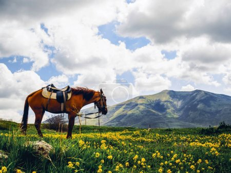 lonely horse on beautiful flowery hill, Armenia