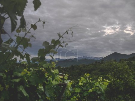 beautiful green leaves of vineyard and stormy sky above mountains in georgia