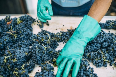 Man picking and cleaning the grapes before making wine