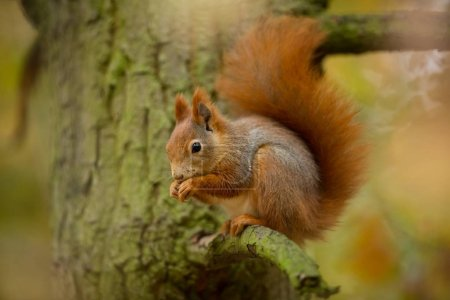 Photo pour Un écureuil. L'écureuil a été photographié en République tchèque. L'écureuil est un rongeur de taille moyenne. Habitant un vaste territoire allant de l'Europe occidentale à l'Asie orientale. La nature libre. Belle photo. La nature sauvage de la République tchèque. Automne - image libre de droit