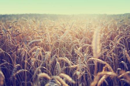 Feld der goldenen Ernte der Weizenähren