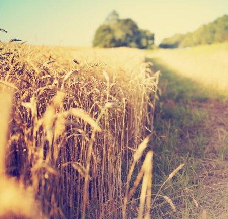 Field of golden harvest of wheat ears